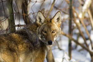 head and shoulders image of a coyote facing the camera, in the woods