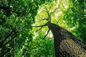 Looking up through the canopy of a healthy forest