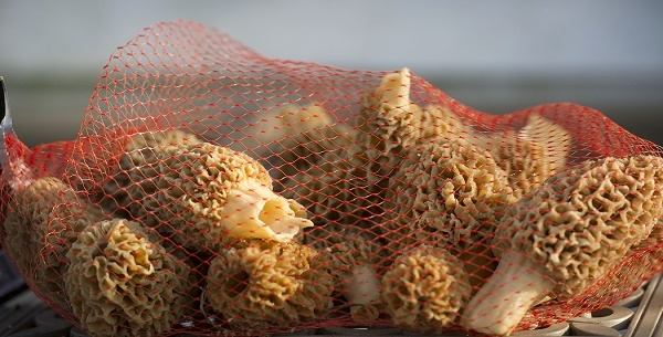 bunch of morels in a thin red mesh bag