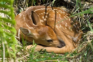 Fawn curled up in the grass in the woods, bright sun