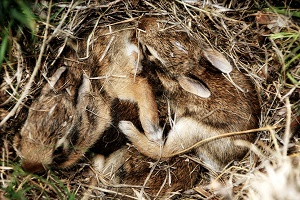 Baby rabbits in a nest