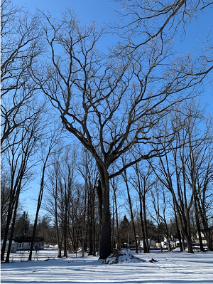 The approximately 250-year-old tree on the snow-covered grounds of the Mann House, against a bright blue sky