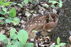 A young fawn curled up at the base of a tree in a Michigan forest, lots of ground cover