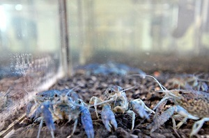 blue marbled crayfish
