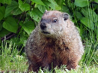 A close-up view of a woodchuck is shown.