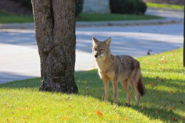 A coyote is shown standing along a street.