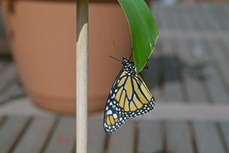 A monarch butterfly is shown on a leaf.