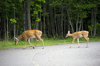 A doe and fawn cross a roadway.