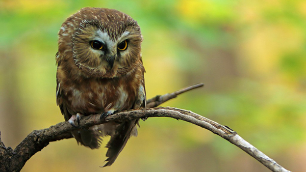 saw whet owl on a branch