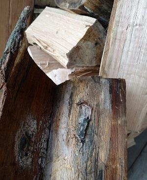 Oak wilt fungus 1
