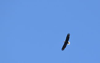 An adult bald eagle soars in a clear, blue sky.