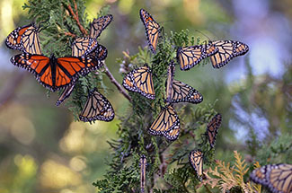 A group of monarch butterflies is shown resting while on migration in Delta County.