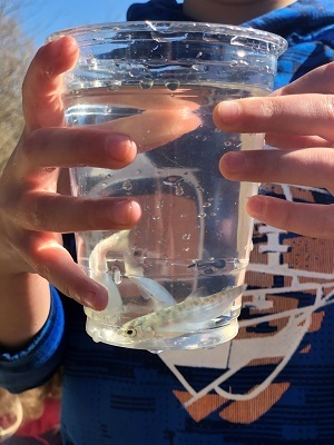close-up view of salmon fry in a clear plastic cup of water, held by hands