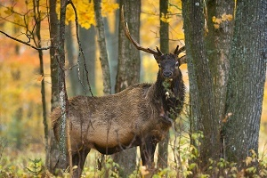 mature bull elk in the fall forest
