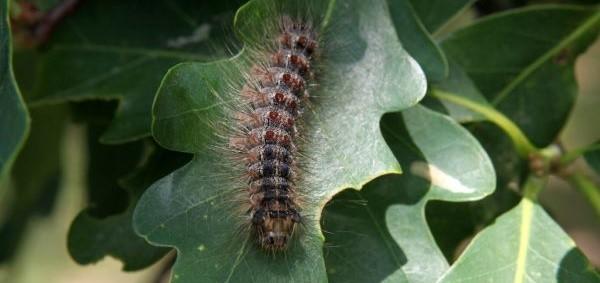 Gypsy moth cropped