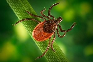 close-up view of blacklegged tick, photo courtesy of James Gathany, Centers for Disease Control