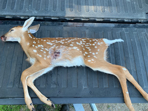A deceased male fawn who was shot illegally