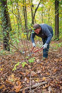 volunteer cutting invasive shrub in forest
