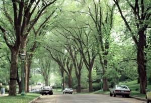 American elm neighborhood