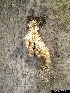 Asian longhorned beetle frass, resembling wood shavings, coming out of an exit hole in a tree trunk.