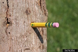A pencil sticking out of an Asian longhorned beetle hole in a tree trunk.