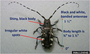 Asian longhorned beetle with descriptive notes.