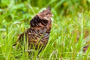 side view of a ruffed grouse in the grass