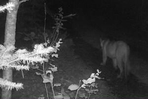 a cougar picture from a trail camera in Michigan