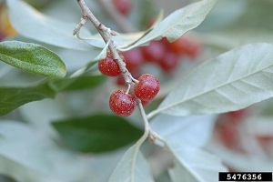 Autumn olive shrub