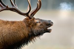elk breath