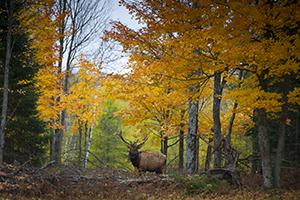 bull elk in fall forest