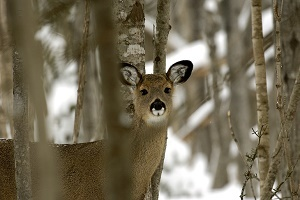 A white-tailed antlerless deer facing the camera, among the trees in a snowy Michigan forest