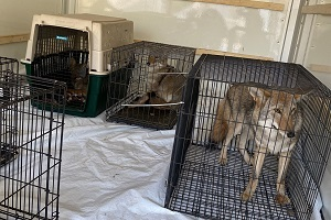 several caged animals, including wolf dogs, in the back of a truck