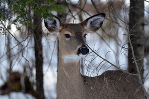A close-up shot of a white-tailed deer is shown from a UP deer wintering complex.