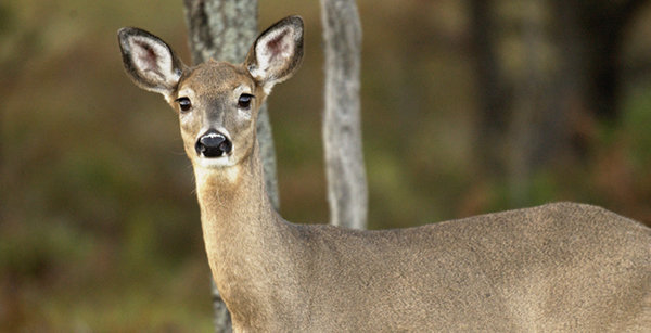 whitetail deer doe in forest