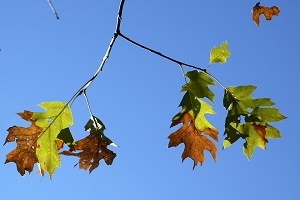 a few thin tree branches with yellow and green oak leaves, some curled and browned by oak wilt fungus, set against a blue sky