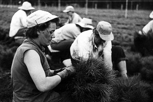 black and white photo of a woman wearing a hat, kneeling, bundling pine tree seedlings, while other people around her do the same
