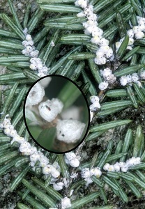 Hemlock woolly adelgid ovisacs on branch with magnified inset