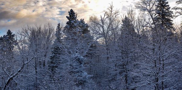 A winter forest of snow-covered trees, backlit by the sun and clouds