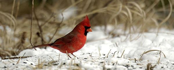 cardinal on snowy ground