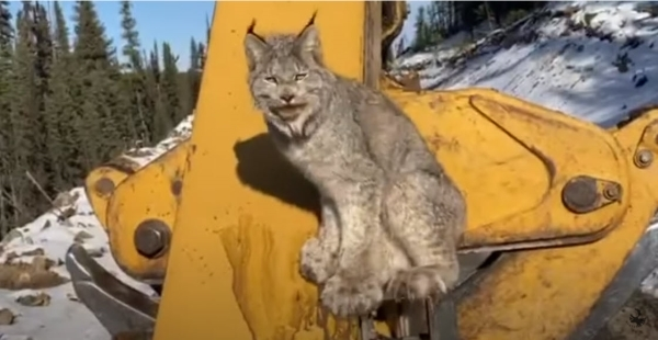 A furry wild lynx perches on a yellow logging skidder