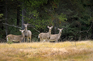 four antlerless whitetail deer in forest