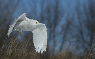 a white snowy owl in flight against a steely blue winter sky and bare trees