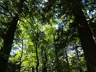 The tree canopy is shown at Porcupine Mountains Wilderness State Park in Ontonagon County.