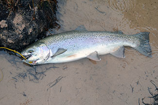 A steelhead caught on the Manistee River is shown.