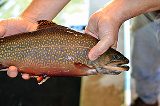 A male brook trout, in bright fall spawning colors, is shown from the Marquette State Fish Hatchery.