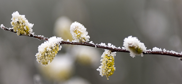 close-up of branch with spring buds covered in frost