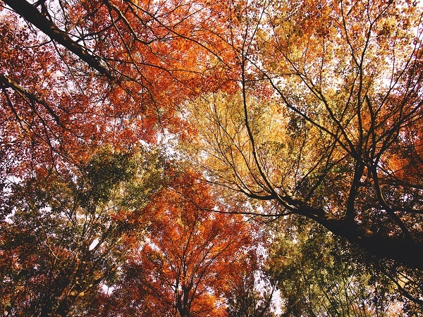 Looking upward through the trees, colored red, burgundy, yellow and orange, at Proud Lake State Recreation Area