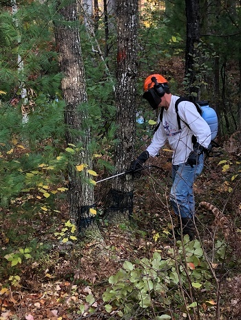 a man wearing a light blue shirt, orange hard hat, a mask and a backpack, uses a spray wand to trial a new method to stop oak wilt disease