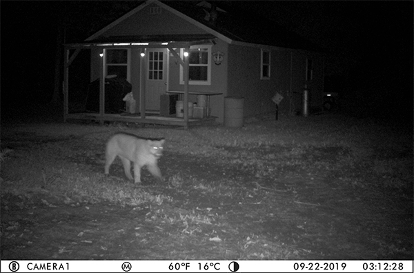 A ghostly, nighttime trail camera image shows a suspected cougar from Delta County.
